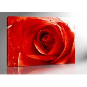 PROUD ROSE 140 x 100 cm